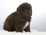 Newfoundland dog puppy portrait. The puppy is 7 weeks old fluffy dog. Image taken in a studio with white background. - 183199892