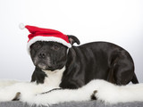 Christmas dog. American staffordshire bull terrier with xmas hat. - 183200604