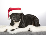 Christmas dog. American staffordshire bull terrier with xmas hat. - 183200616