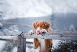 Fototapety The Nova Scotia duck tolling Retriever dog in winter mountains