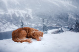 The Nova Scotia duck tolling Retriever dog in winter mountains - 183209264