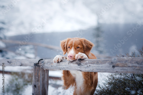 The Nova Scotia duck tolling Retriever dog in winter mountains