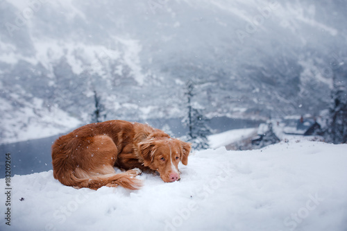 Wall mural The Nova Scotia duck tolling Retriever dog in winter mountains