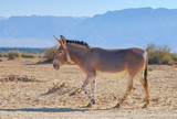 Somali wild donkey(Equus africanus). This species is extremely rare both in nature and in captivity. Nowadays it inhabits nature reserve near Eilat, Israel - 183214423