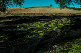 Landscape of olive trees plantation during the harvesting. Traditional work of Andalusia, Spain. - 183216004