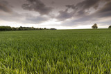Wheatfields - 183218234
