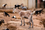 Majorera goat (cabra majorera) at a goat milk cheese farm. Photo with shallow depth of field. - 183221606
