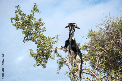 Staande foto Marokko Famous moroccan scene - goats on the argan tree, Morocco, North Africa
