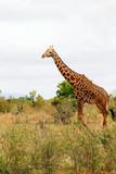 Adult Giraffe - 183238085