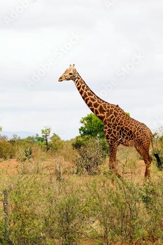 Fototapeta Adult Giraffe