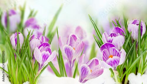 spring crocuses flowers under snow on bokeh background banner