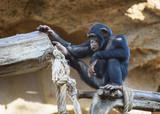 Funny chimpanzee sitting on a tree - 183246635