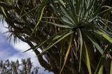 Canary Island Dragon Tree (Dracaena Drago), Botanic Gardens, Sydney. - 183251257