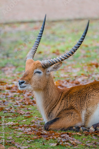 African golden antelope resting at the ground