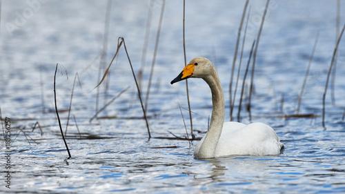 Aluminium Zwaan White Swooper Swan
