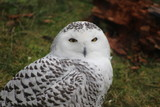 Snow owl portrait photographs displaying the majestic bird of the arctic