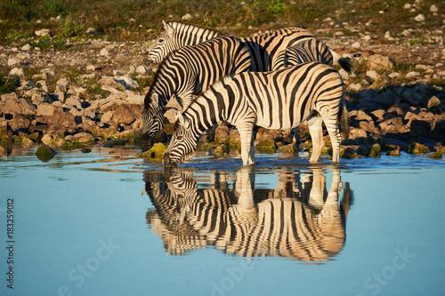 Burchell's zebras (Equus quagga burchellii) drink at a waterhole