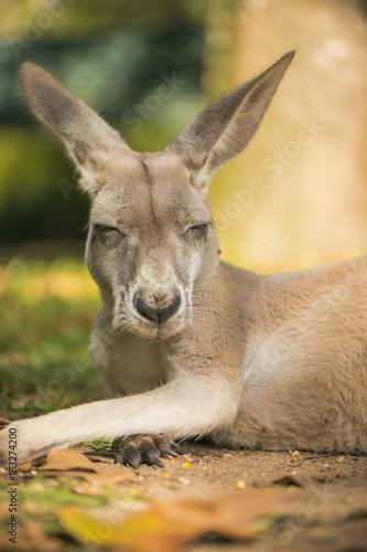 Fotobehang Kangoeroe Australian kangaroo outdoors during the day time.