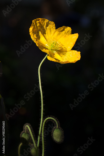 colorful poppies on black background