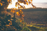 Detail of branch with orange colored fall leaves. Backlit in sunlight. - 183303449