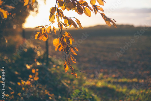 Detail of branch with orange colored fall leaves. Backlit in sunlight.