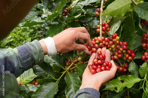 Foto op Canvas Koffie Close up of red berries coffee beans on agriculturist hand