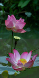 Lotosblüte, Nelumbo, Nahaufnahme - 183304200