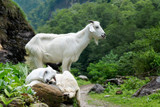 two white goats in annapurna valley. nepal. - 183320615