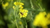 Bee collects nectar from mustard rapeseed flower slow motion. - 183340821
