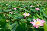 Sacred Lotus VietNam