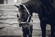 A newborn colt walks in the pen with her mother