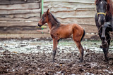 Newborn colt walks in winter in the pen - 183348646