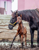 A newborn colt walks in the pen with her mother - 183348694