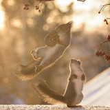 squirrels in the air with snow with a pine cone