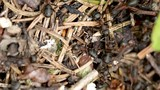 Wild ant hill in the forest closeup - 183352229