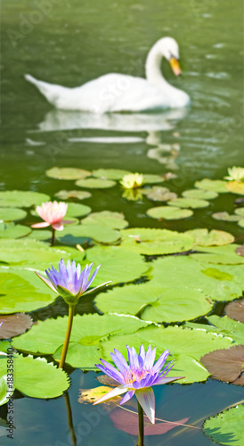 Swan and lotus flower on the lake