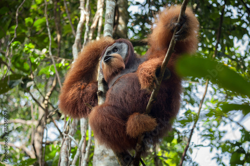 Dominant male orangutan shouts, sitting in a tree in the jungle