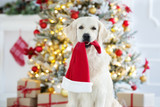 golden retriever dog holding a santa hat in mouth - 183360699