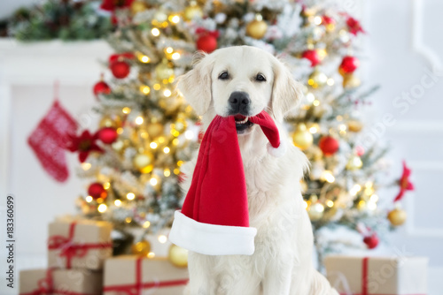 golden retriever dog holding a santa hat in mouth Poster