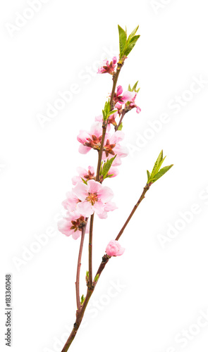 Fotobehang Kersen Sakura flowers isolated