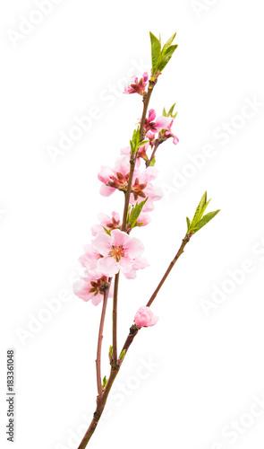 Plexiglas Kersen Sakura flowers isolated