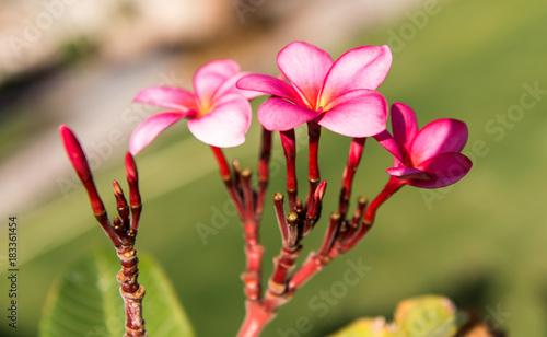 Plexiglas Plumeria frangipani flower blooming in the garden