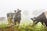 Vaches au champ dans le brouillard - 183364277