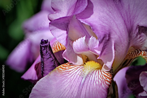 Plexiglas Iris Iris