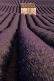 Provence lavender fields in France. Purple waves. - 183369415