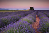 Provence lavender fields in France. Purple waves. - 183369457