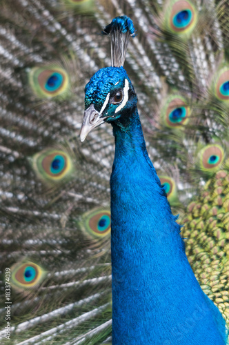 Plexiglas Pauw Der blaue Pfau und sein prachtvolles Federkleid. Sein wissenschaftlicher Name lautet Pavo cristatus und er gehört, wie der Fasan und das Haushuhn, zu den Fasanenartigen (Phasianidae)