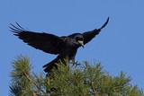 Rook (Corvus frugilegus) - 183375267
