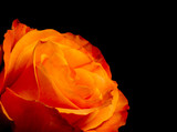 Beautiful dark orange rose on black