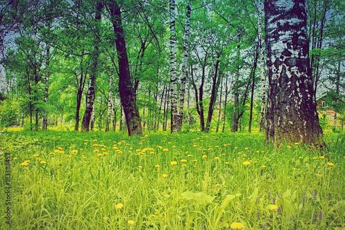 birch grove summer yellow dandelions field flowers landscape